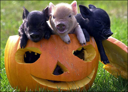 Miniature pigs in a pumpkin