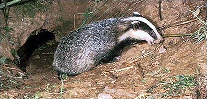 how to kill badgers with paracetamol
