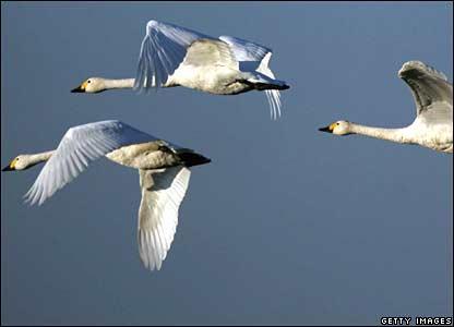 三只从俄国西伯利亚地区迁徙至英格兰格洛斯特郡过冬的天鹅。
