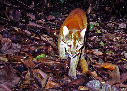 Asiatic golden cat (Image: ZSL)