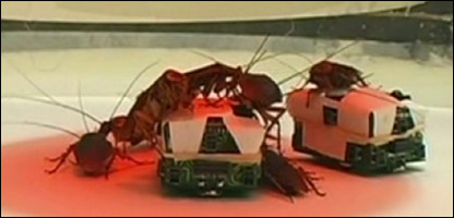 Some of the roaches with their robotic friends