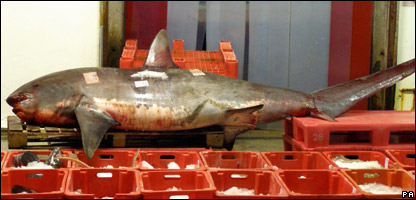 The shark on sale at the market