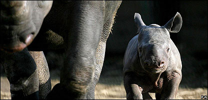 A black rhino at an Animal Park in Kent in the UK
