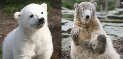 Knut the bear when he was a baby - and how he is now!