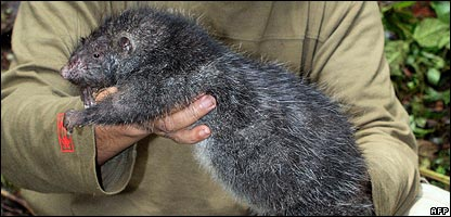 A giant rat found in Indonesia