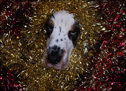 Barney the dog covered in tinsel