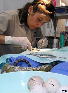 A vet operating on the snake