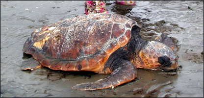 Stranded loggerhead turtle Photo: George Middleton