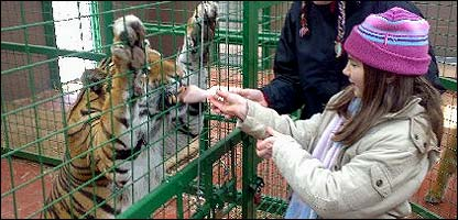 Chloe feeding a tiger