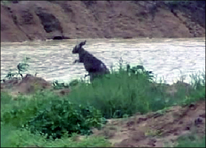 A kangaroo by a river