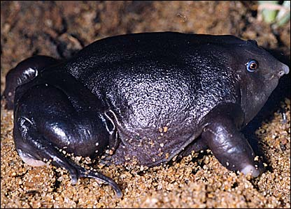 Purple frog - picture by Sathyabhama Das Biju