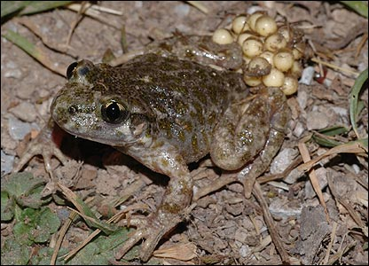 Betic midwife toad - picture by Jaime Bosch