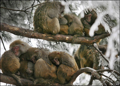 Wild macaques huddled up against the cold