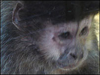 One of the rescued Capuchin monkeys