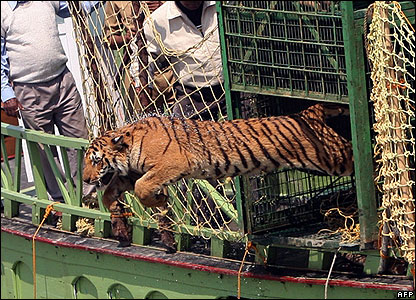 This is the moment a pregnant tiger leapt to freedom after being captured in a village in eastern India.