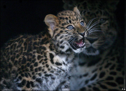 Baby leopard