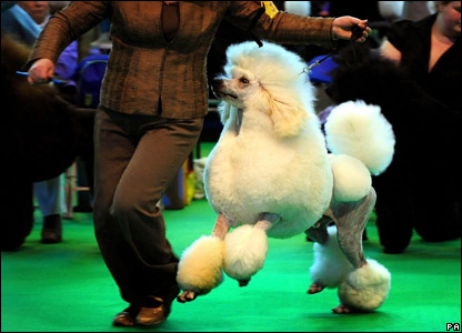 A poodle showing at Crufts