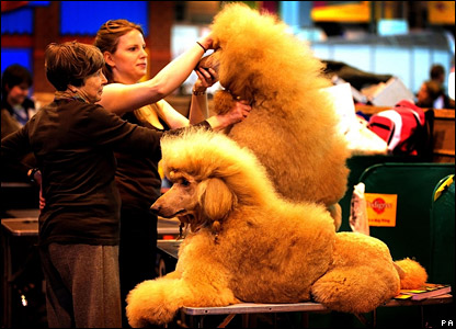Poodles being groomed