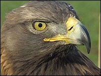 Methuselah the golden eagle