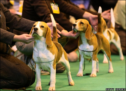 Beagles line up to be judged