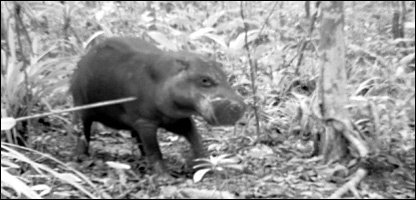Pygmy hippos are one of the most secretive types of animals