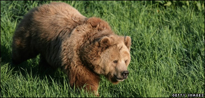 A brown bear