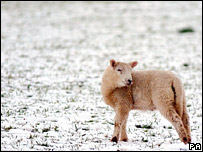 A lamb in a snow-covered field