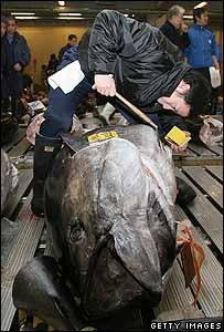 日本筑地魚市場買家檢驗金槍魚(2007年攝)