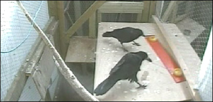 A pair of rooks working together