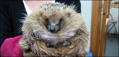 George before his diet. Photo: Wildlife Aid, Leatherhead, Surrey