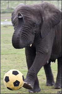 Elephant with a football
