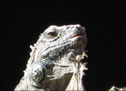 And onto animals now, check out this cool, scaly iguana, snapped by Michael, 11, during a holiday to Fuerteventura....