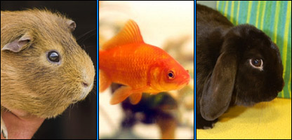 A guinea pig and goldfish