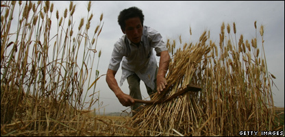 A farmer gathering wheat
