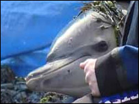 One of the dolphins that's been rescued
