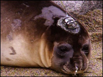 The seal pup with the tracker on its head