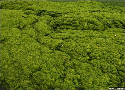 The thick blue-green algae that's causing problems in China