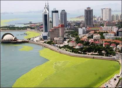 Aerial shot of Qingdao showing the algae covering the coastline