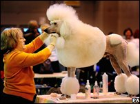 A poodle being groomed at Crufts dog show