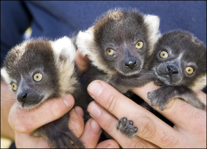 Three lemurs