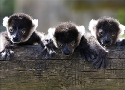 the three lemurs