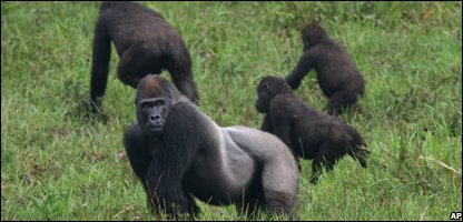 Gorillas in the Republic of Congo
