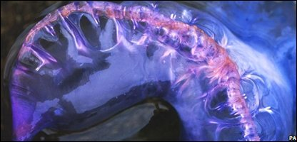 Portuguese man-of-war found in Dorset Photo: The Wildlife Trusts/PA Wire