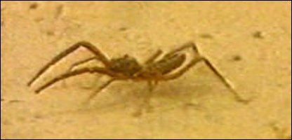 A camel spider (generic)