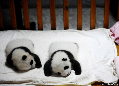 Sleeping panda cubs