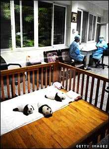 Panda cubs in their cot
