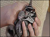 Skye the sugar glider