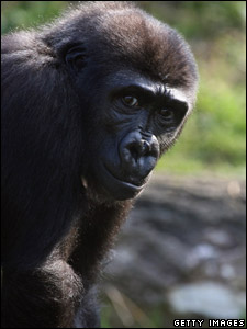 Orphaned gorilla Kera at her new home in Bristol