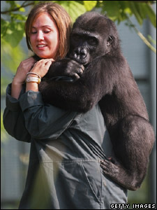 Orphaned gorilla Kera with one of the keepers at her new home in Bristol
