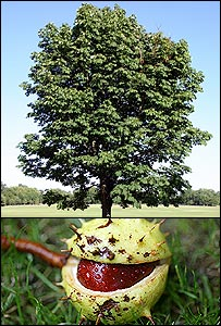 A horse chestnut tree and a conker